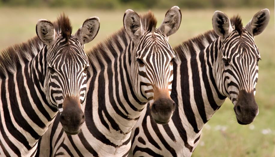 Zebras close up